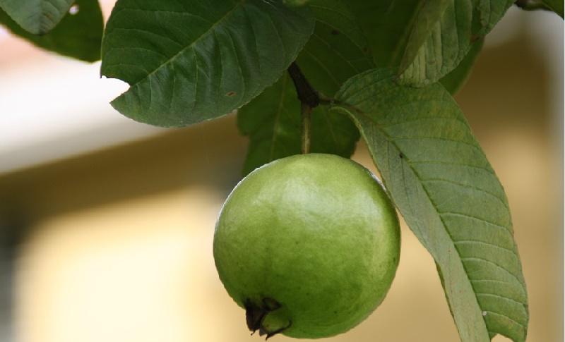 Ce fruit arr te la chute des cheveux il prot ge le coeur et aide perdre du poids - Feuille de goyave acheter ...