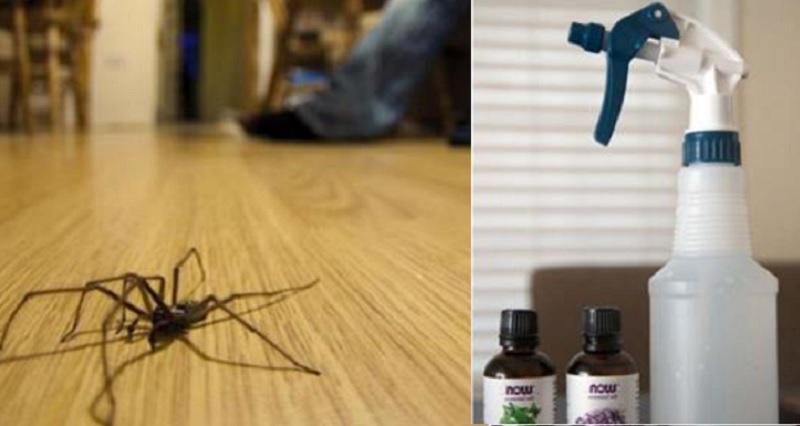 un r pulsif naturel et super puissant contre les araign es il est fait d 39 huiles essentielles. Black Bedroom Furniture Sets. Home Design Ideas