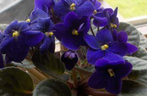 7 choses que vous devriez savoir afin d 39 avoir les plus for Violette africane